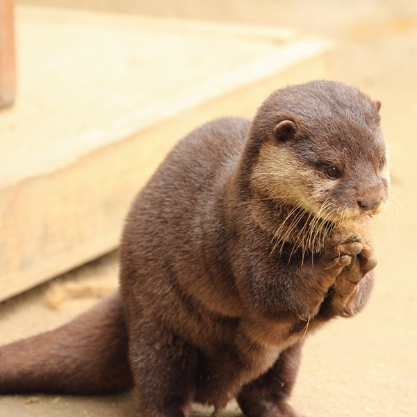 Otter Does His Mr Burns Impression
