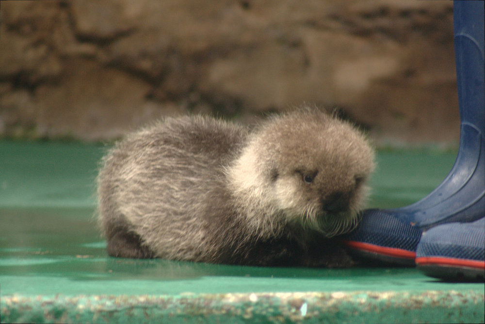 Otter Is Not Impressed with Your Choice of Footwear
