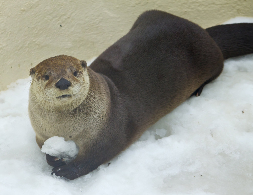 Otter Challenges You to a Snowball Fight