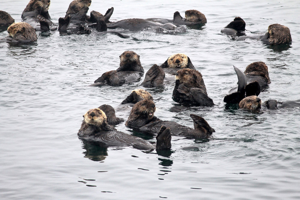 Otters Have a Floating Get-Together