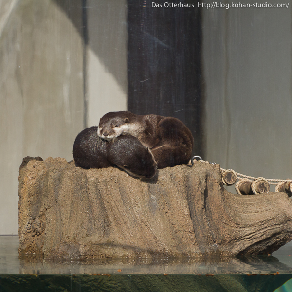 Otters Take a Nap on Their Island