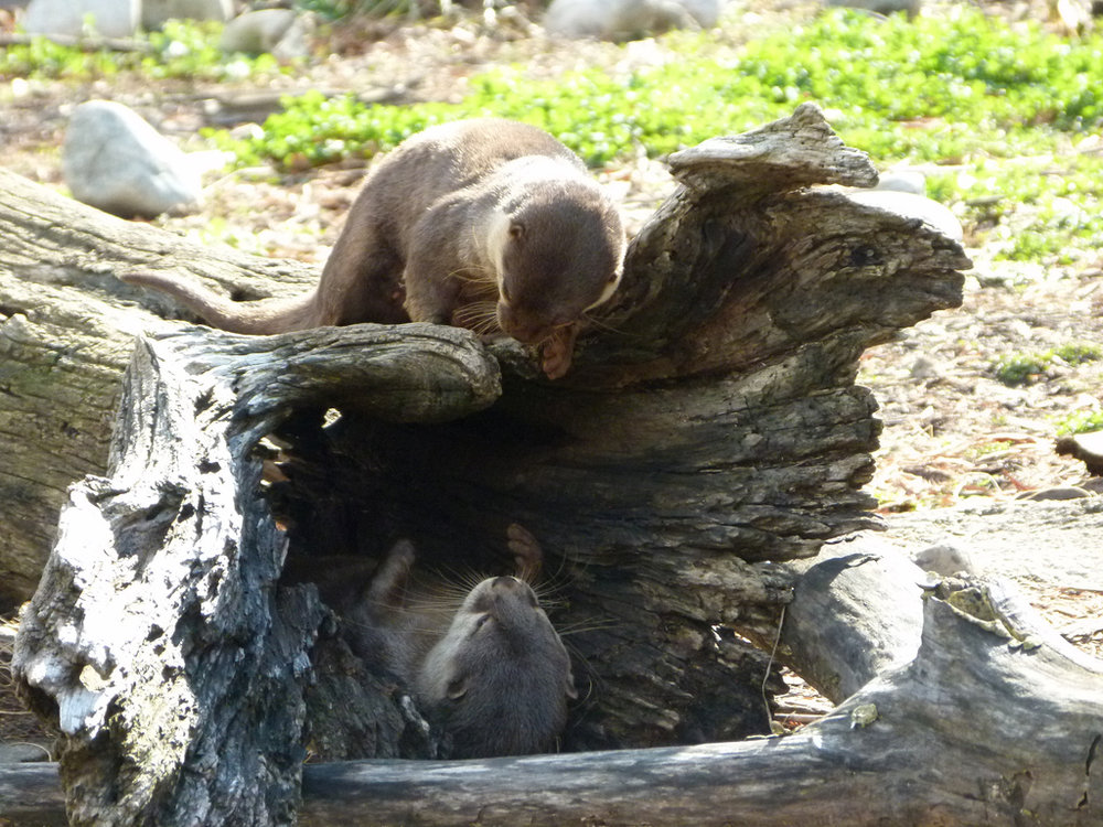 Otters' Game of Hide and Seek Is Over