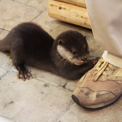 Talented Otter Will Tie Your Shoelaces