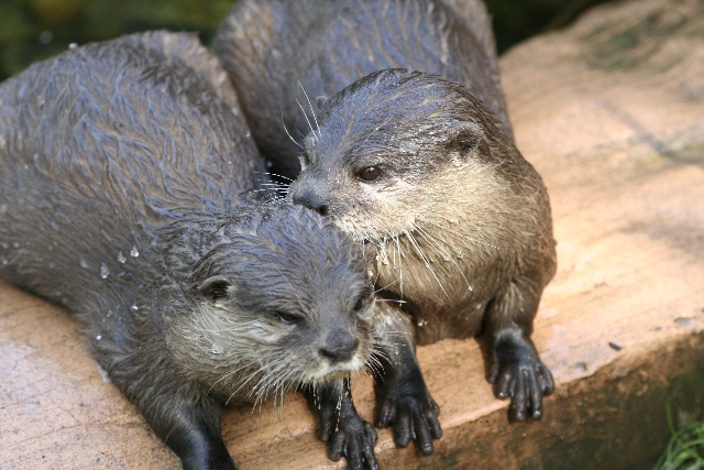 Otter Tells His Friend a Secret