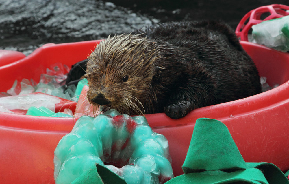 Otter Gets Red and Green Ice for Christmas