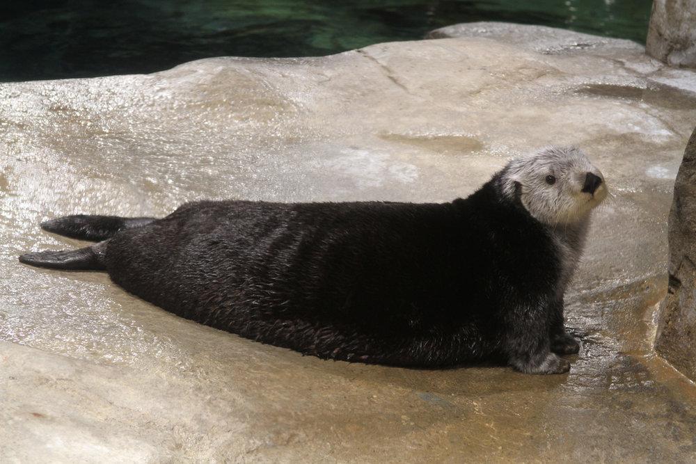 Plump Otter Is Plump