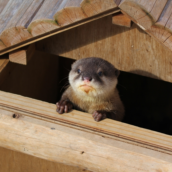 Otter Peeks Out from His Playhouse