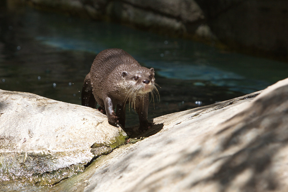 Otter Exits the Pool After a Nice Swim