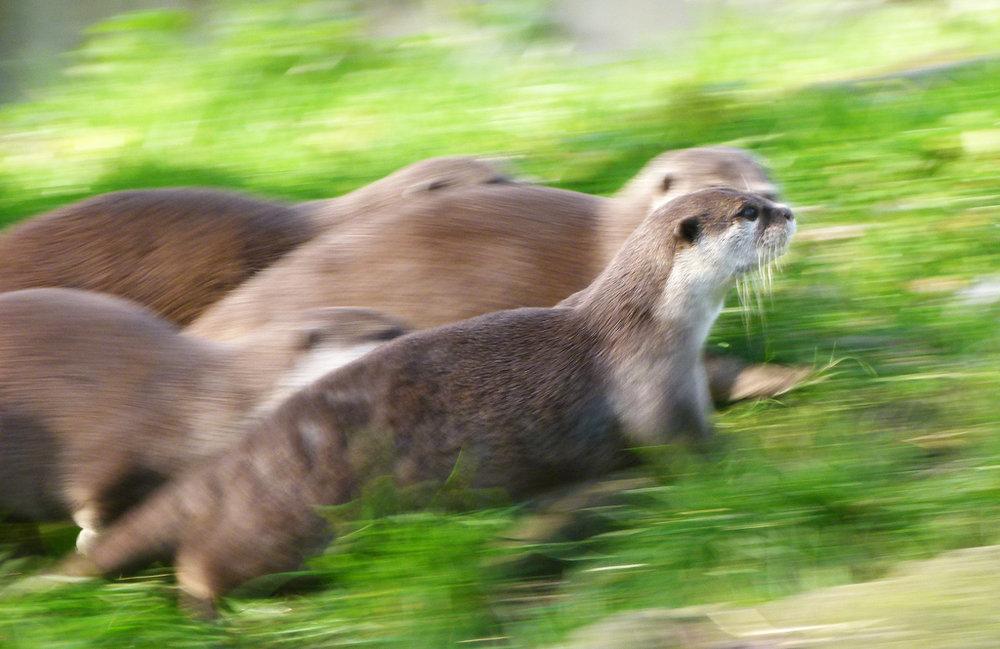 Otter Race