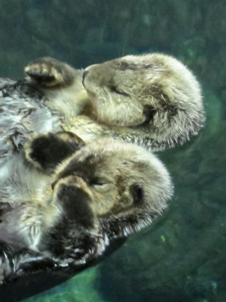 Sleepy Sea Otters