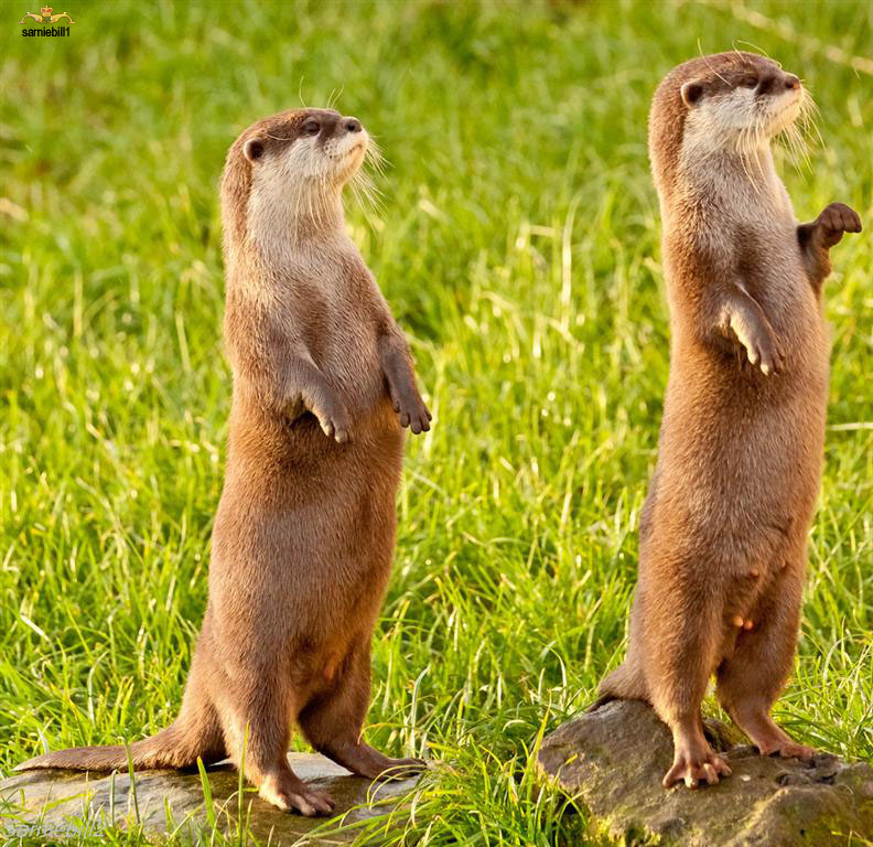 Otters Do Their Best Meerkat Impression