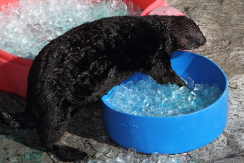 Sea Otter Kit Climbs Into a Cozy Pool of Ice