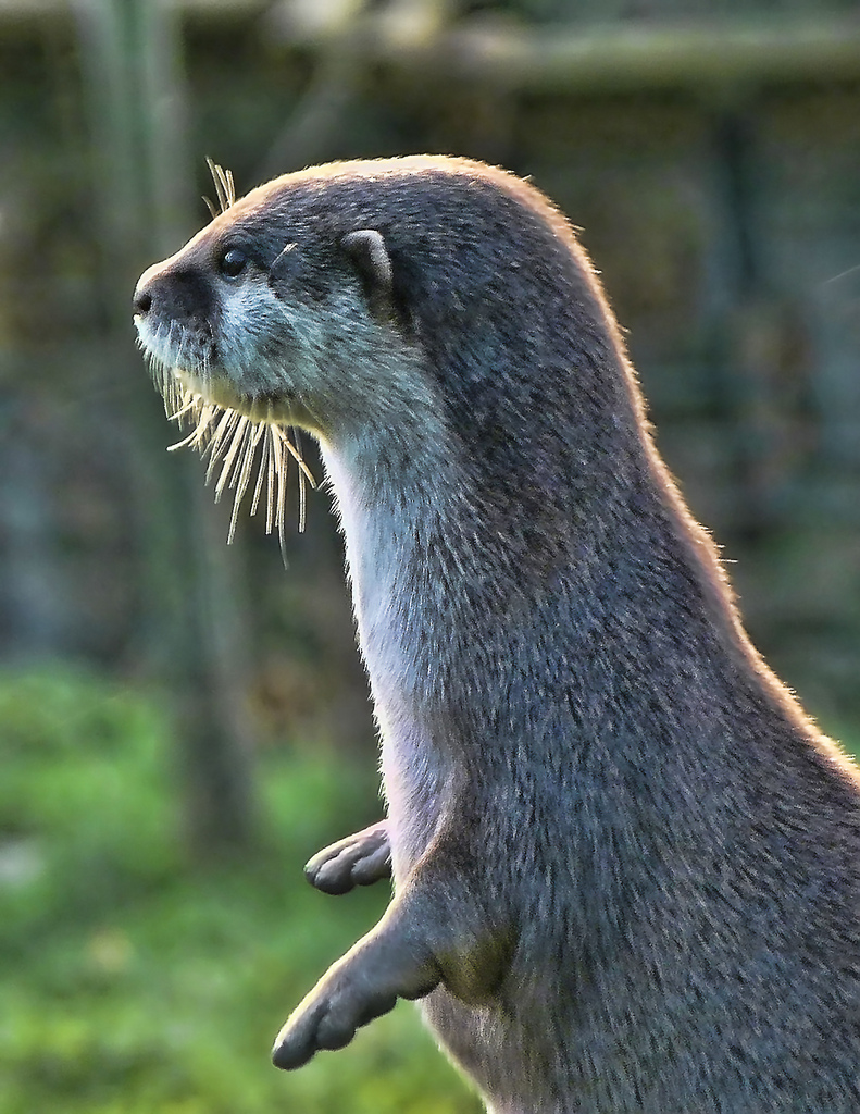 Otter Plays an Invisible Piano