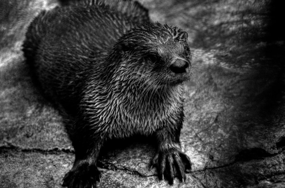 Otter in Black and White