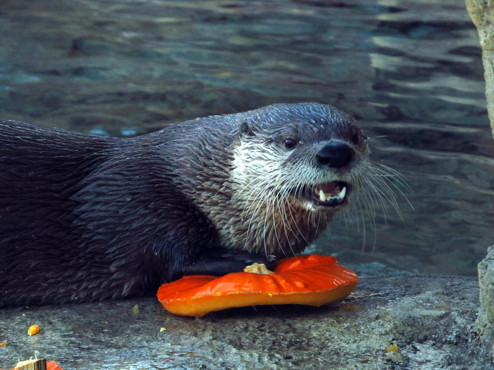 Otter Is Excited to Have a Bit of Pumpkin