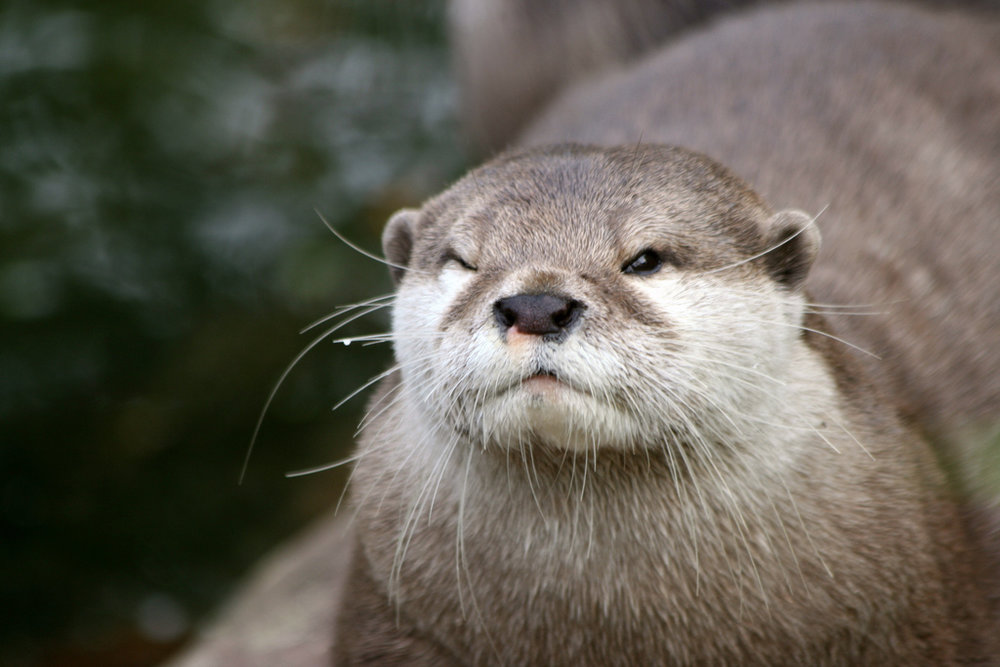 Otter Plays the Now-I-See-You-Now-I-Don't Game