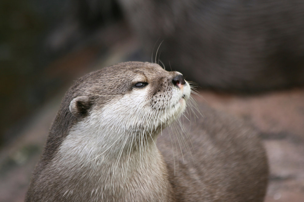 Haughty Otter Says I Don't Understand the Question and I Won't Respond to It