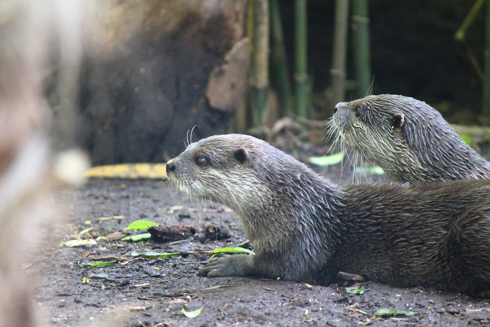 Otter Friends Lie in the Cool Dirt