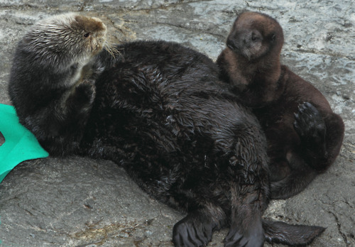 Otter 540 and Surrogate Mother Hang Out