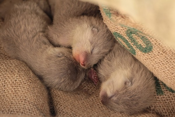 Newborn Otters Nap Together
