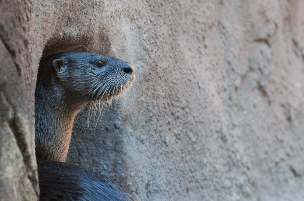 Otter Looks Out His Window