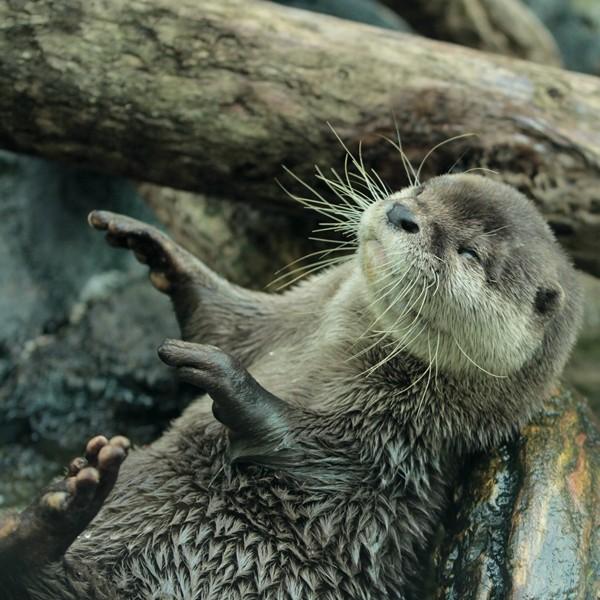 Hypnotized Otter
