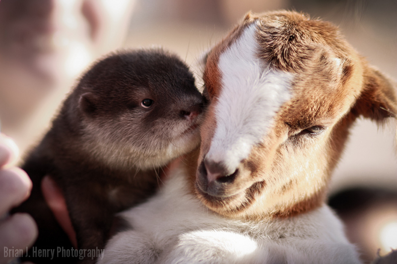Otter and Goat Are the Best of Pals