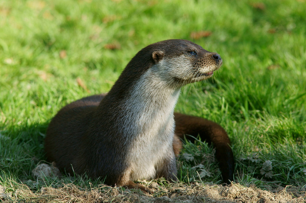 Sulking Otter