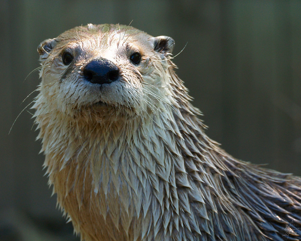 Otter Will Look You Straight in the Eye