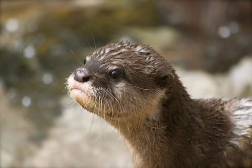 New Otter Pups at Santa Barbara Zoo Make a Family of Eleven!