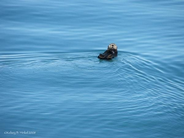 Little Otter in a Big Sea