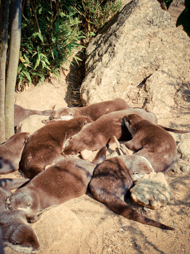 Otters Nap in the Sun