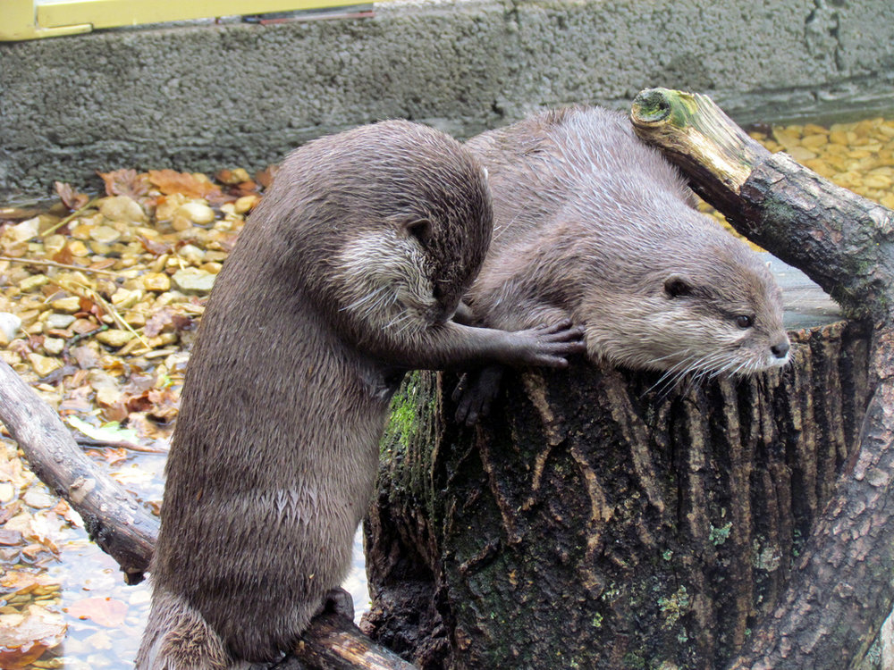 Otter Bows to Otter King on His Throne