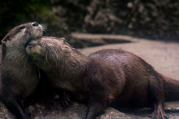Otter Just Needs a Nuzzle Right Now