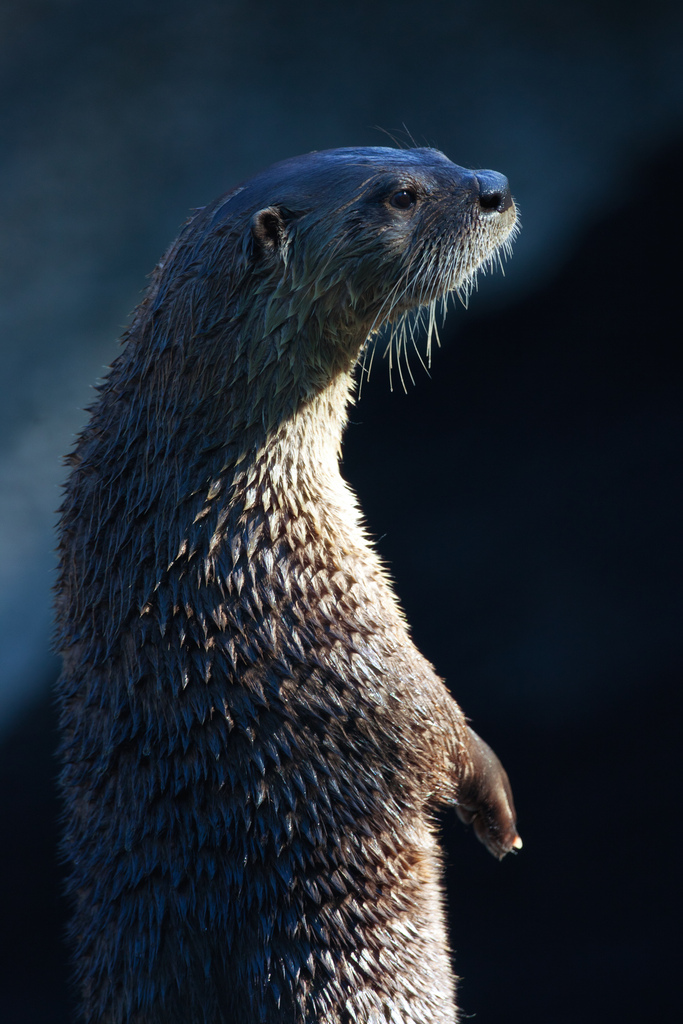 Otter Stands Tall
