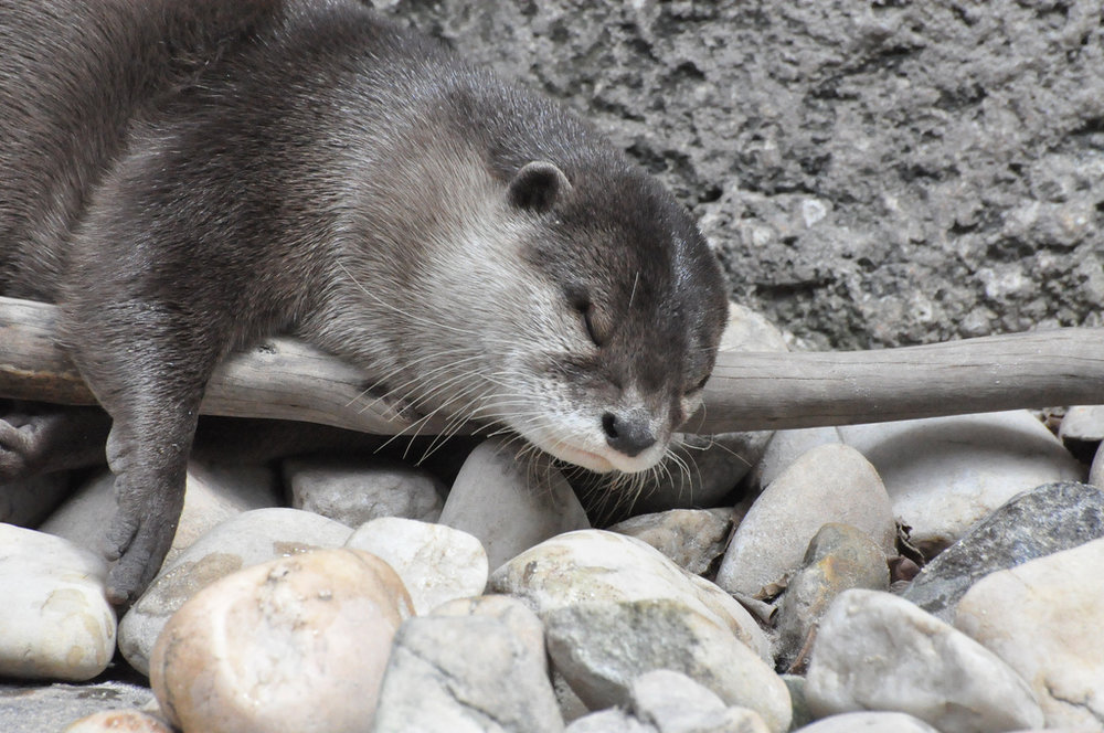 Otter Naps in Awkward Position
