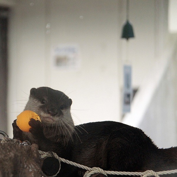 Otter Sweetly Poses with a Ball