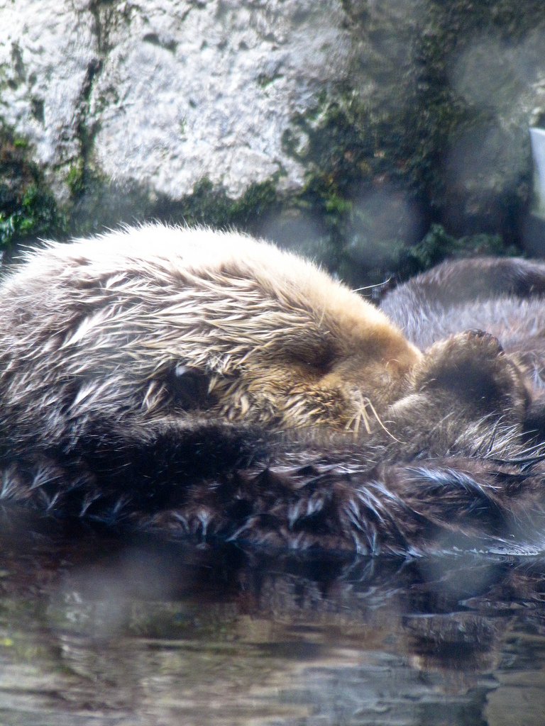 Otter Tucks In Her Head for a Snooze