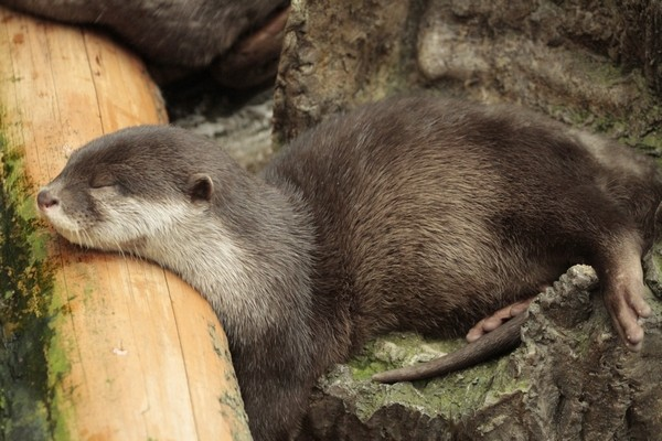 Sleepy Otter Can Snooze in Any Position 1