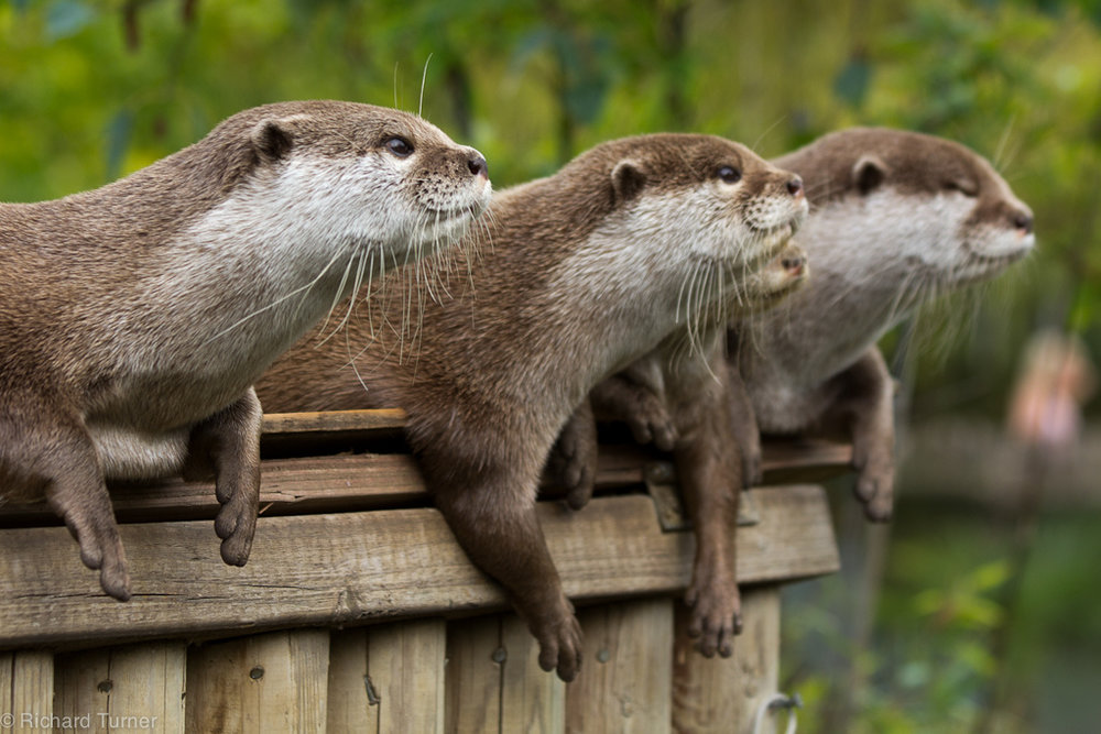 Something Has Caught the Otters' Attention