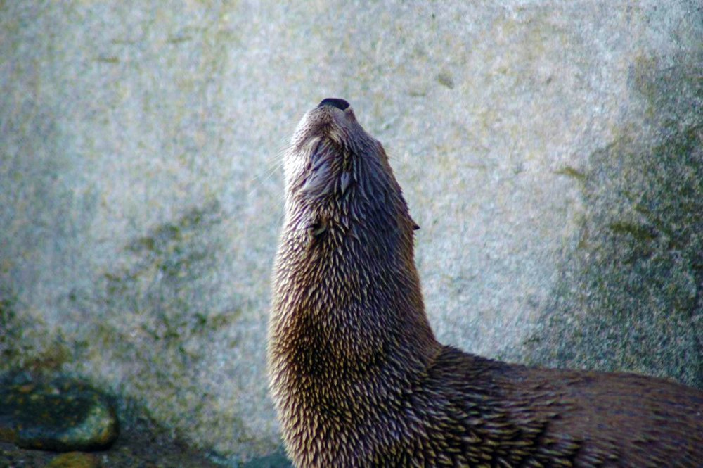 Otter Puts His Nose in the Air
