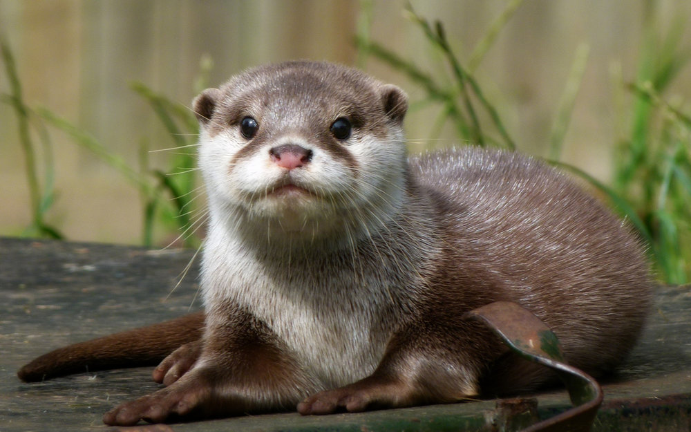 Little Otter Will Pose for a Portrait