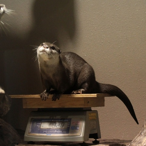 Otter Happily Gets Weighed