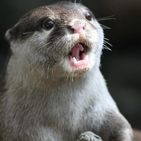 Otter Gasp
