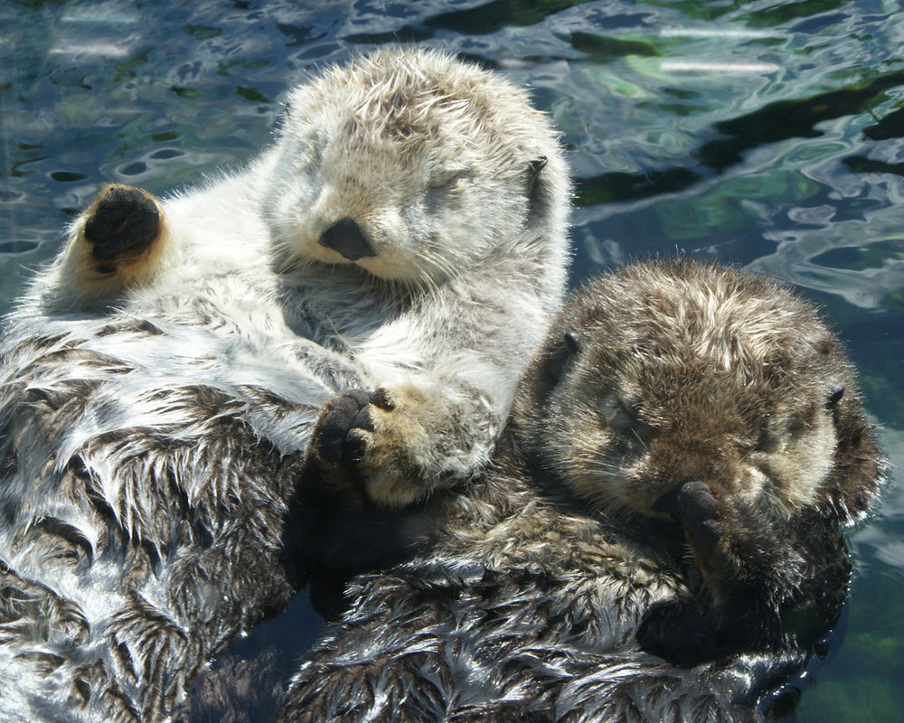 Otters Hold Hands at Vancouver Aquarium