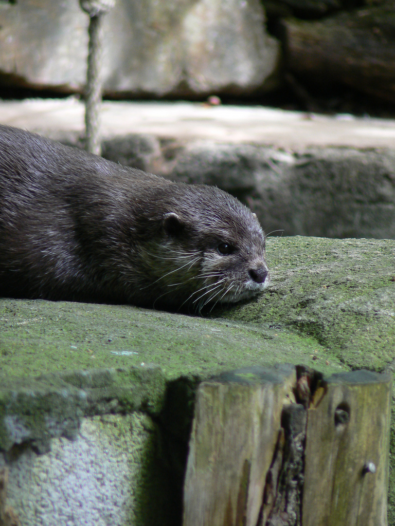 Otter Looks Contemplative