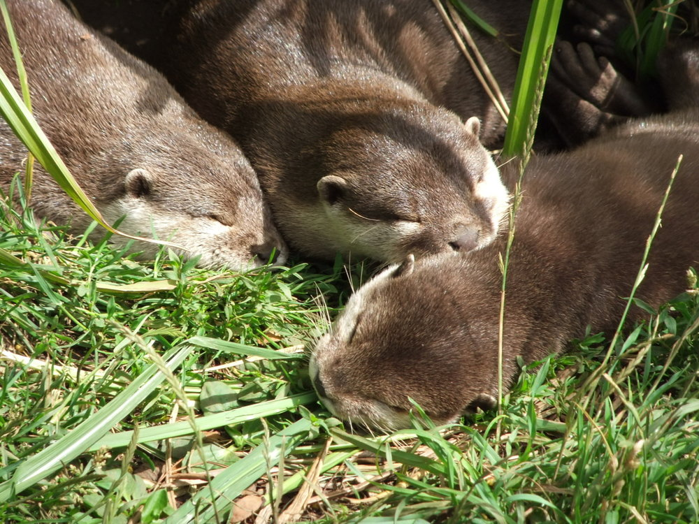 Three Is Not a Crowd When It Comes to Otter Naps