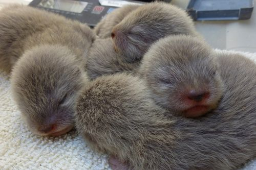 Newborn Otters at the Santa Barbara Zoo