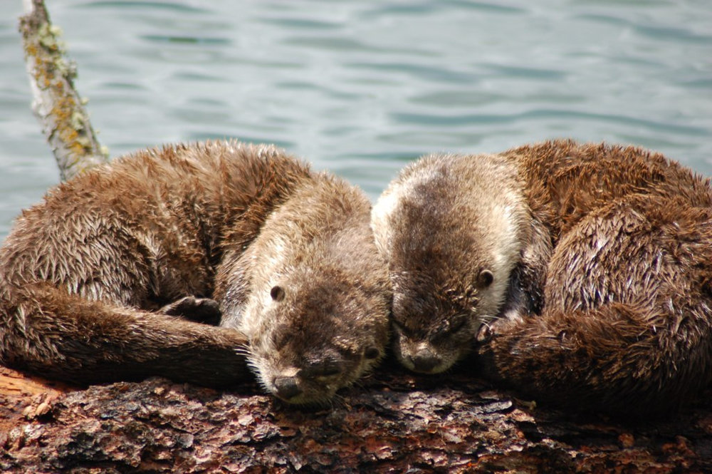 Otters Curl Up Together to Nap in the Sun