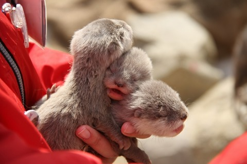 A Handful of Baby Otters